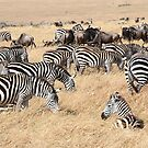 Zebra &amp; Wildebeest Migration by Carole-Anne
