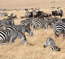 Zebra & Wildebeest Migration by Carole-Anne