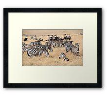 Zebra & Wildebeest Migration Framed Print