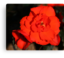 Red Tuberous Begonia Flower Canvas Print