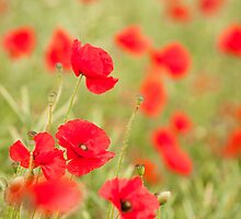 Poppy Red by Anne Gilbert