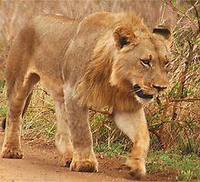 WISDOM - THE LION - panthera leo - Leeu by Magriet Meintjes