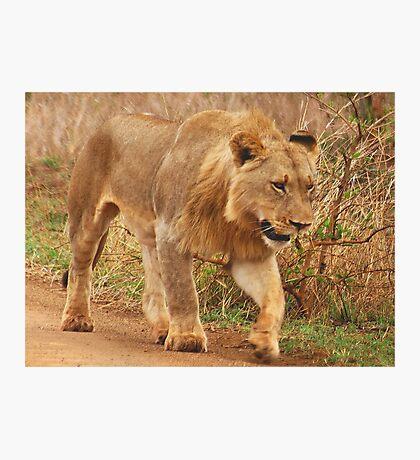 WISDOM - THE LION - panthera leo - Leeu Photographic Print