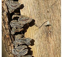 Tree Stump with Fungi Photographic Print