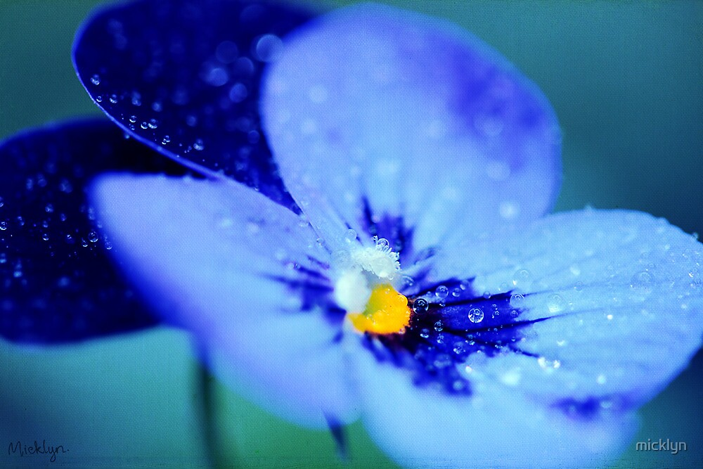 Pansy Blues by micklyn