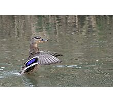 duck in water Photographic Print