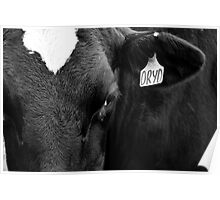 Black and White Dairy Cow  Poster