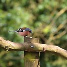 Chaffinch by GraceRawsthorne