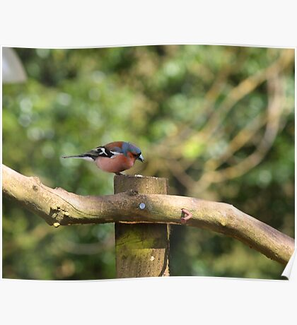 Chaffinch Poster