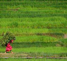 Woman Harvesting Crops near Bhaktapur by SerenaB