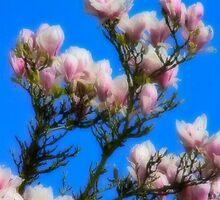 The softness of magnolia petals by missmoneypenny
