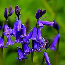 English Bluebells : Hyacinthoides Non-Scripta. Low Coniscliffe, England by Ian Alex Blease