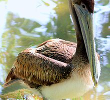 Little Brown Pelican by AuntDot