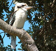 Crowdy Head Kooka by Gary Kelly