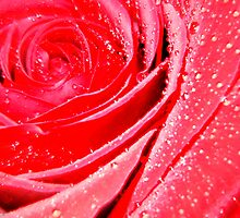 I gave my LOVE a red, red rose.......   ^ by ctheworld