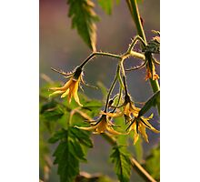 Tomato Blossoms Photographic Print