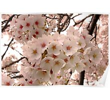 When Cherry Trees Bloom Poster