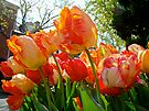 Parrot Tulips in Philadelphia by MotherNature