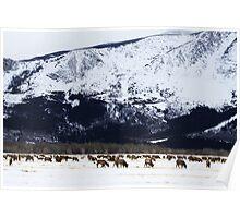 Elk Herd Poster