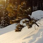 Young Pine in the Snow by CormacEby