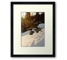 Young Pine in the Snow Framed Print