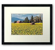 Skagit Valley Daffodil Fields Framed Print