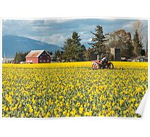 Skagit Valley Daffodil Fields Poster