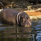 Hippopotamus by LJ_©BlaKbird Photography
