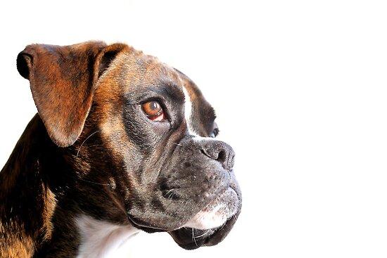 Boxer portrait by JanaBehr