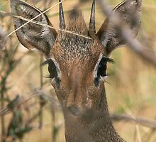 Dik-dik Portrait by David Clarke