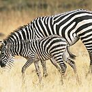 Zebras in the rain by David Clarke