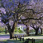 Purple Rain: Jacarandas, Grafton, NSW by SunshineKaren