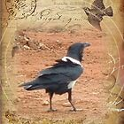 Domino, the Pied Crow by Maree Clarkson