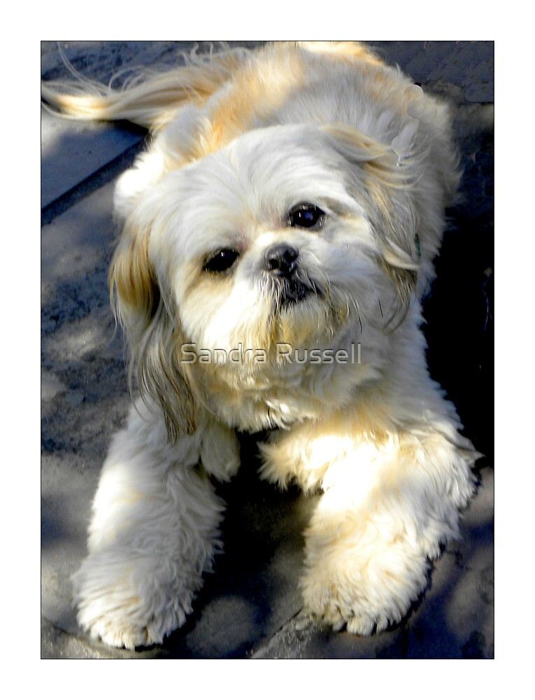 """""""Adorable Pooch""""  by Sandra Russell"""