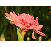 Pink Ginger Flower Photographic Print