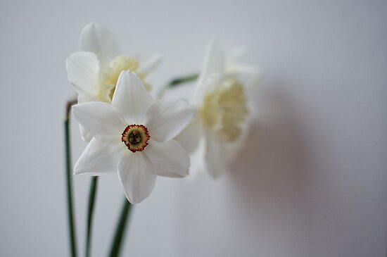 snow white daffodils by Anete Bauere