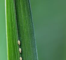 Three Little Aphids All In A Row by PhotographyTK