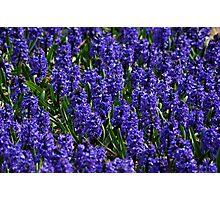 Hyacinth field Photographic Print
