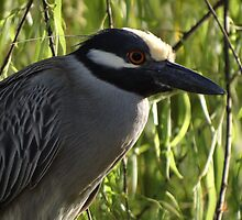 Portrait Of A Yellow Crowned Female Heron - Retrato De Una Garza Coronada Amarilla by Bernhard Matejka