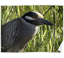 Portrait Of A Yellow Crowned Female Heron - Retrato De Una Garza Coronada Amarilla Poster