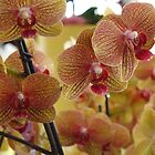 orchids by HelliBerry