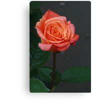 Peach Rose Canvas Print