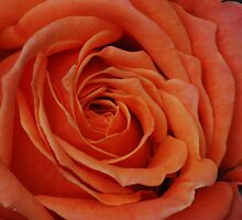 Peach Rose Close-Up by Mark McReynolds