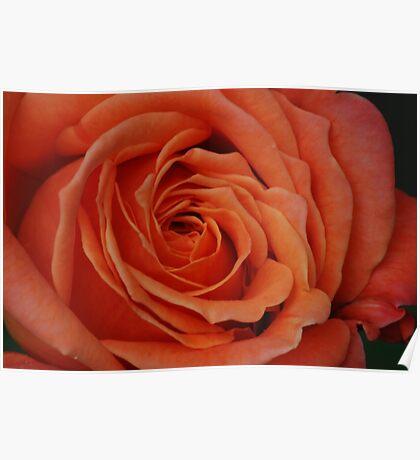 Peach Rose Close-Up Poster
