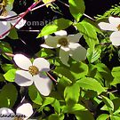 The dogwood flower by Erykah36