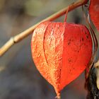 Chinese Lantern Plant 1 by Ken Glotfelty