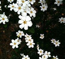 White flowers by Stephanie  Barry