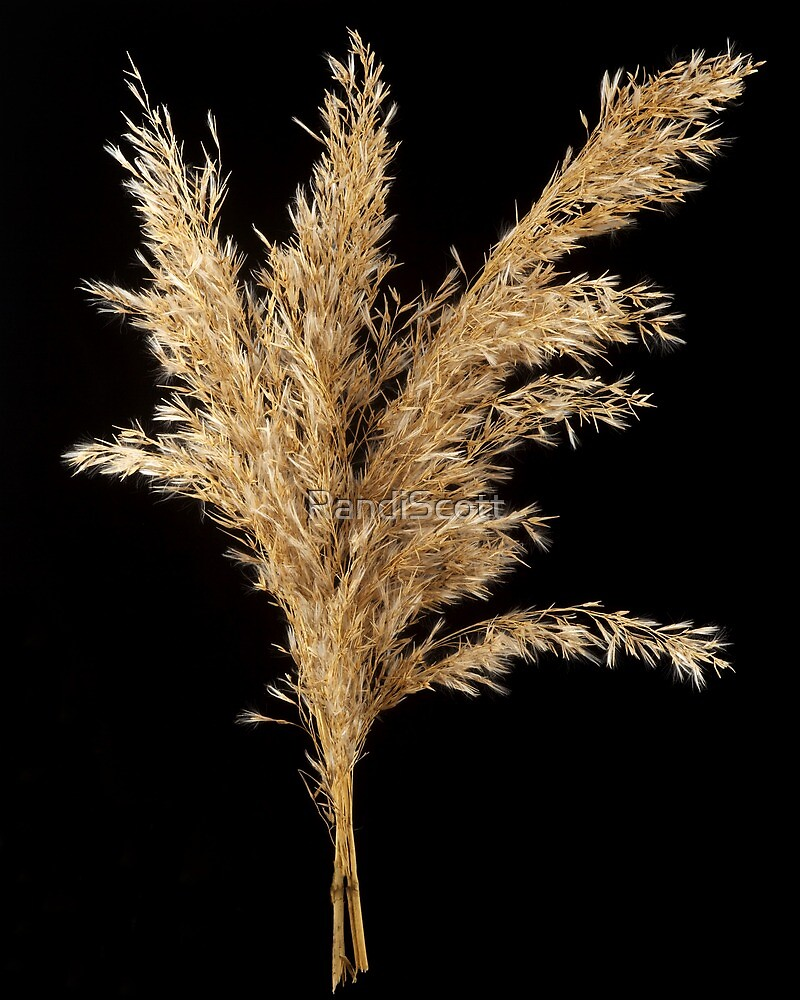 Common Reed Inflorescence  by RandiScott