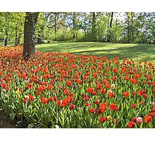 Mare di tulips rossi... Photographic Print