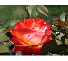 Red and gold rose Photographic Print